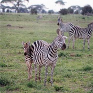 Small herd of Zebras with their Calf