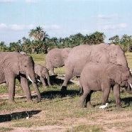 Elephants in Keya