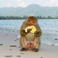 Monkey eat banana on Monkey Island